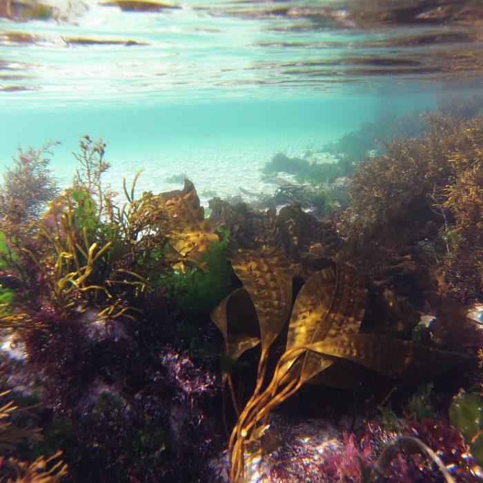 Algues brunes